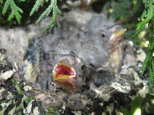 Tengelic (Carduelis carduelis) - Fotó: Milvus