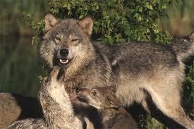 Farkasfalka jelent meg Felcsíkon