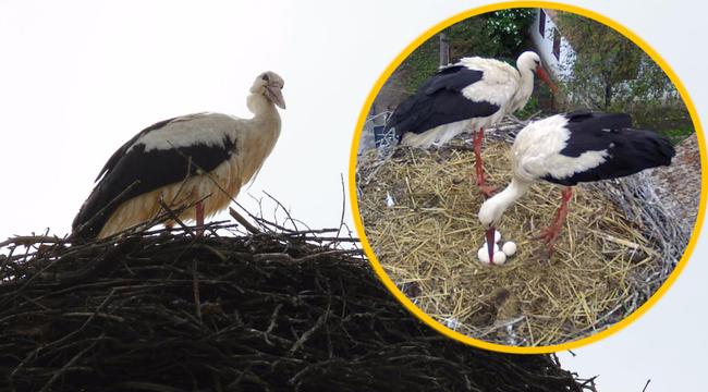 A hideg végzett az erdélyi sztárgólyák kicsinyeivel