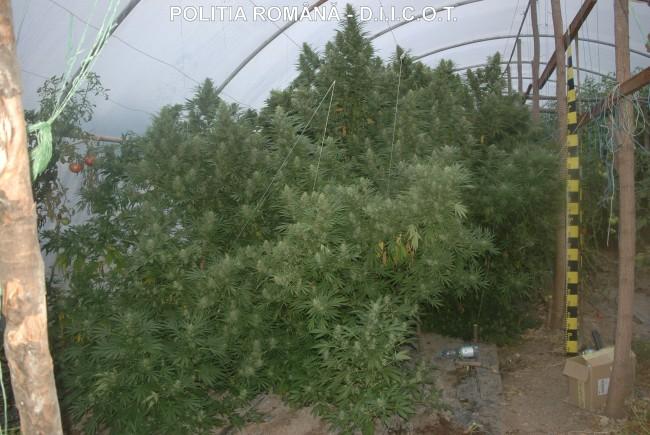 Marihuána-ültetvényre bukkantak a rendőrök egy Nagyvárad melletti településen