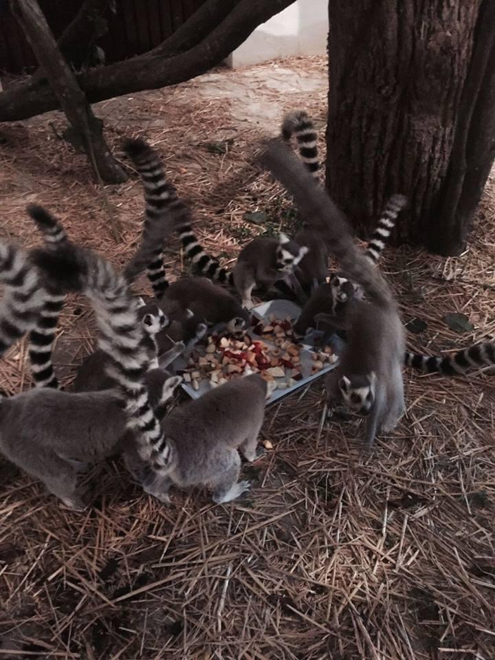 11 gyűrűsfarkú maki költözött a marosvásárhelyi állatkertbe