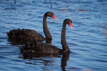 Kimutatták a madárinfluenza vírustörzsét öt marosszentkirályi fekete hattyúban