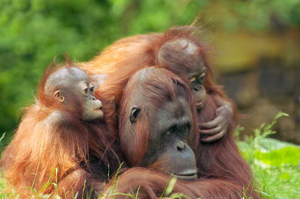 Akár kilenc évig is szoptatja kicsinyét az orangután