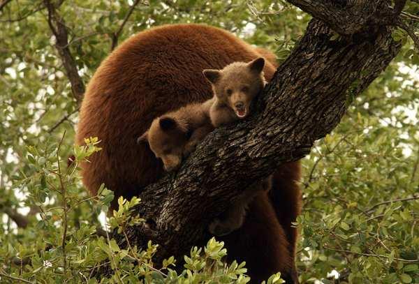 Sepsibodokon egy fán keresett menedéket két bocsával egy anyamedve