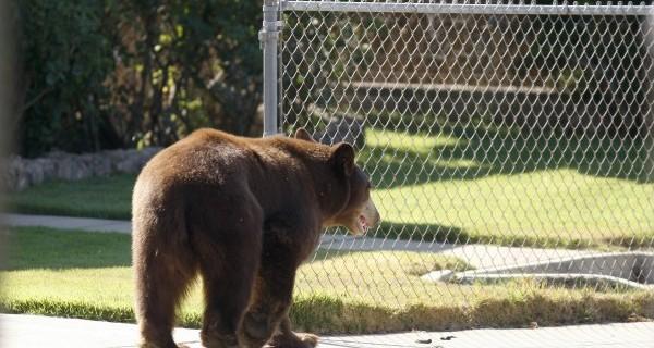 Több medvét láttak Tusnádfürdő utcáin; a polgármester folyamatos megfigyelést szorgalmaz