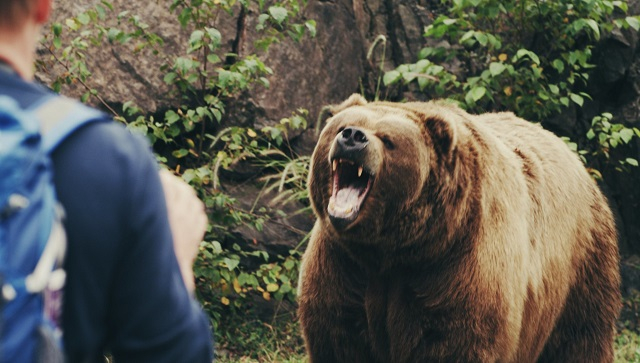Medvetámadás Hargita megyében – mogyorót gyűjtő férfira támadt a vadállat
