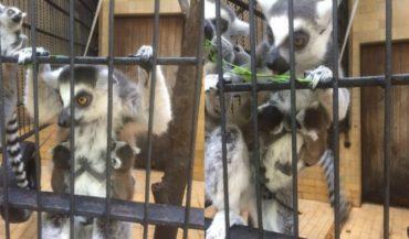 Két gyűrűsfarkú makikölyök született a Marosvásárhelyi Állatkertben