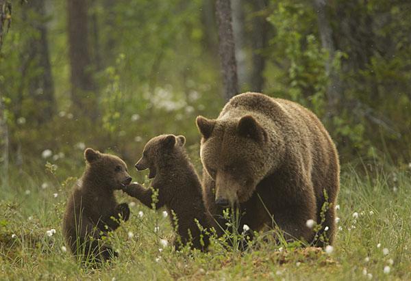 Több mint 100 esetben okozott kárt medve idén Maros megyében