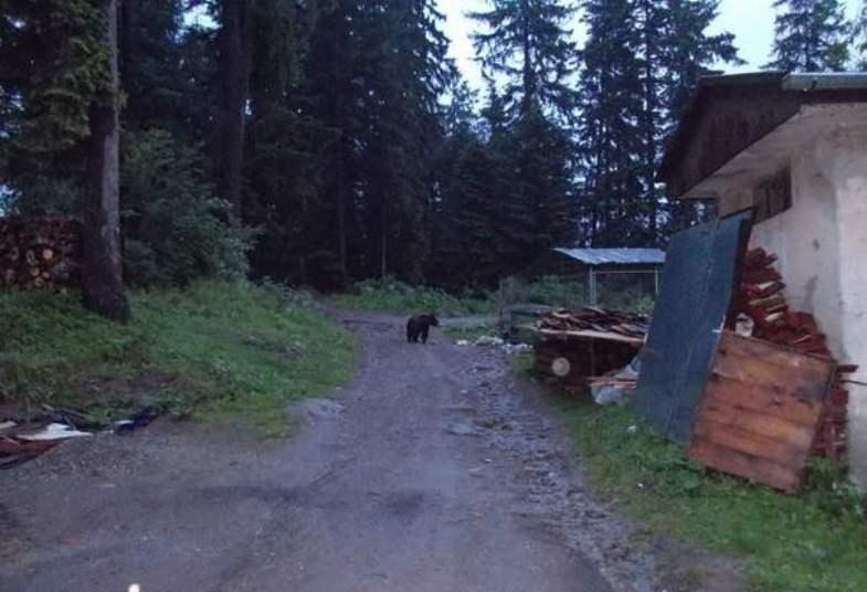 Másfél mázsás disznót ölt meg egy medve