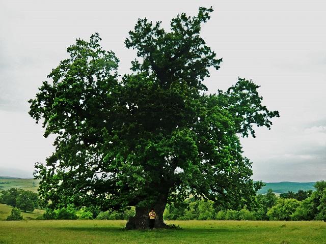 Több mint 900 éves Románia legöregebb fája, ami Erdélyben található