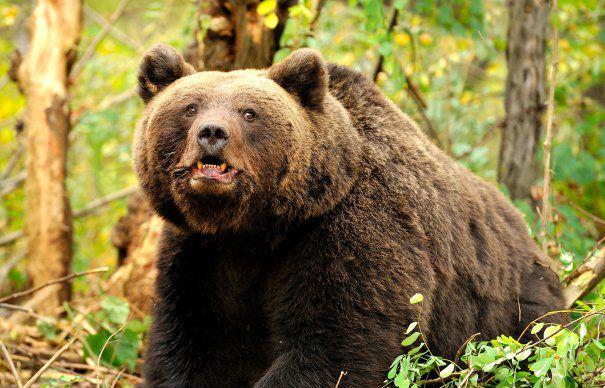 Betört egy tusnádi házba és kirámolta a hűtőszekrényt egy medve