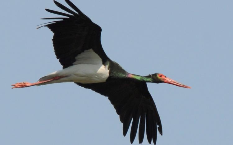 Megjelent az első fekete gólya Székelyudvarhely határában
