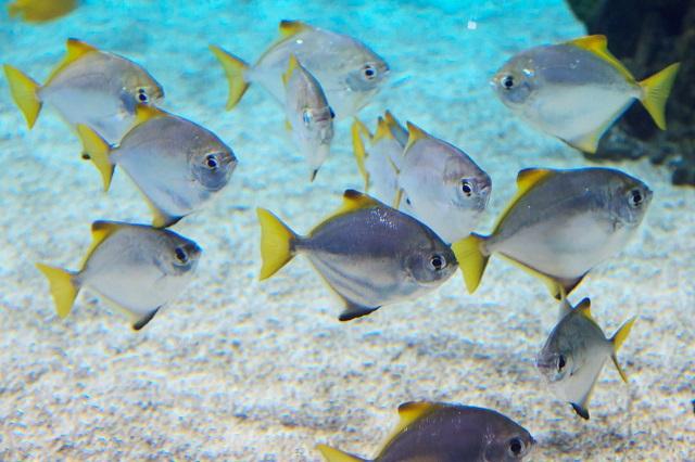 Műanyaghulladékot mutattak ki az Atlanti-óceánban élő halak gyomrában