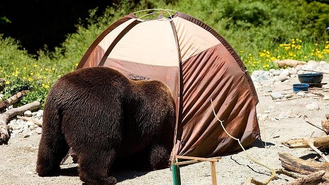 Sátorozóra támadt a medve a Szarvas-völgyben