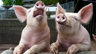 Már 140.000 disznót el kellett pusztítani az afrikai sertéspestis miatt